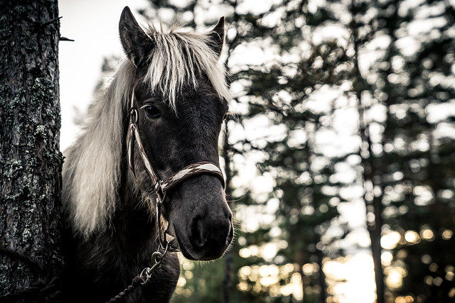 Nordland Horse from Norway