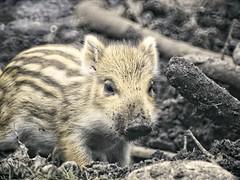20180429-155847 Frischling Wildschwein Bokeh (torstenbehrens) Tags: frischling wildschwein bokeh schleswigholstein deutschland