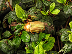 Golden on green (ingcuevas) Tags: beautiful insect bug green yellow golden gold cute small nature leaves plant life natural tiny treasure amazing