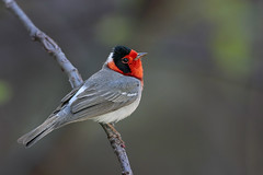 Red-faced Warbler (Greg Lavaty Photography) Tags: redfacedwarbler cardellinarubrifrons arizona april coronado nationalforest pimacounty warbler male birdphotography outdoors bird nature wildlife