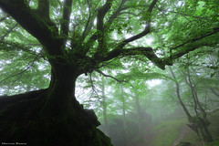 The guardian of the forest (Hector Prada) Tags: bosque niebla forest fog hayedo beech enchanted creepy encantado charmed mist magic atmosfera mood musgo moss spring primavera tree árbol naturaleza nature woods euskalherria paísvasco basquecountry baum natura leaf