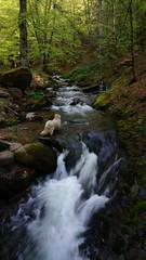 Dog in the river (Goran Joka) Tags: dog river water stream wood forest trees nature landscape outdoor staraplanina oldmountain serbia srbija waterfall creek mountain hiking