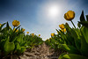 Flowerbulbs 6 - Tulips (Manuel Speksnijder) Tags: bloemen flowers holland zuidholland southholland hillegom hofduynlaan stationsweg nederland thenetherlands bollen bulbs bloembollen flowerbulbs bollenstreek bulbregion canoneos5dmarkiii canon ef1635mmf28liiusm tulpenvelden tulipfields tulp tulip velden fields tulpen tulips tulipfield tulpenveld geletulpen yellowtulips geel yellow bluesky blauwelucht blue blauw sun zon
