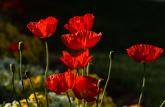 Garden magic (Irina1010) Tags: poppies flowers light red glowing garden shadows beautiful magic nature outdoors spring canon coth coth5