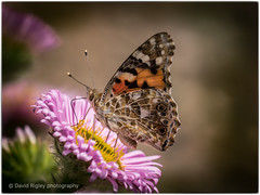 Painted lady (daverigleyphotos) Tags: painted lady olympus em1 mk2 leica 100400mm garden wildlife colours bugs