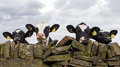 Peek A Moo 2 (Craig Hannah) Tags: calves cows cattle drystonewall yorkshire young agriculture farm farming farmland animal may 2018 wall craighannah westriding england uk funny fun westyorkshire rishworth