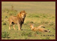 TENSE MOMENT BETWEEN THE KING OF JUNGLE AND THE LIONESS  (Panthera leo)....MASAI MARA....SEPT 2017 (M Z Malik) Tags: nikon d3x 200400mm14afs kenya africa safari wildlife masaimara keekoroklodge exoticafricanwildlife exoticafricancats flickrbigcats leo lionking lioness ngc npc