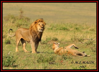 TENSE MOMENT BETWEEN THE KING OF JUNGLE AND THE LIONESS  (Panthera leo)....MASAI MARA....SEPT 2017