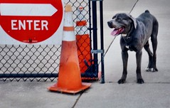 Please use other door ! #canecorso #bigdog #pies #sonyalphaphotography #dogsareawesome (ma4werner) Tags: canecorso bigdog pies sonyalphaphotography dogsareawesome