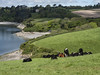 By the banks of the Helford River estuary, cattle resting (Marion CW (Marion in Cornwall)) Tags: helford cattle
