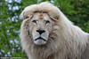 White Lion - Zoo Amneville (Mandenno photography) Tags: animal animals zoo amneville zooamneville france frankrijk white whitelion lion lions leeuw leeuwen ngc nature bigcat big cat