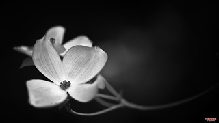 Dogwood, Black and White