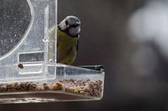 28/365 - Spotted (Spannarama) Tags: 365 january bird bluetit tit quizzical suspicious birdfeeder seeds birdseed outofmywindow dirtywindow