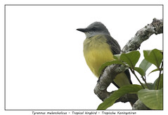 Tropical kingbird (Jan H. Boer, Nature photographer) Tags: tyrannusmelancholicus tropicalkingbird tropischekoningstiran birds flycatchers nature wildlife costarica tortuguero nikon d500 afsnikkor200500f56eedvr jan´sphotostream2018