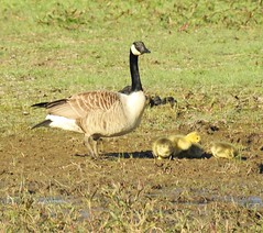Canada Goose Guarding Goslings at Druridge (Gilli8888) Tags: northumberland nikon p900 coolpix nature druridge druridgeponds wetlands birds waterbirds countryside goose canadageese goslings four five