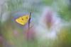 Gelbling (MichaelMerl) Tags: gelbling butterfly schmetterling yellow meadow 2018 nikon sigma macro