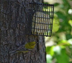 Pine Warbler (mrbama97) Tags: warbler animal wildlife backyard suet birdfeeder suetfeeder alabama songbird bird pinewarbler
