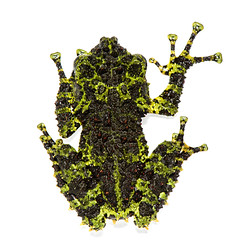 Relish with legs (Jen St. Louis) Tags: thelodermacorticale vietnamesemossyfrog amphibian captive frog treefrog jenstlouis wwwjenstlouisphotographycom nikond750 nikon105mmf28