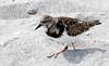 Ruddy Turnstone (Arenaria interpres); Englewood Beach, FL [Lou Feltz] (deserttoad) Tags: bird wildbird shorebird wildlife nature beach behavior florida