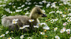 Bar-headed gosling (PChamaeleoMH) Tags: barheadedgeese centrallondon goslings london stjamesspark