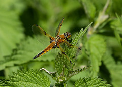 Four-spotted Chaser --- Libellula quadrimaculata (creaturesnapper) Tags: dragonflies uk europe odonata insects libellulidae rspb fourspottedchaser libellulaquadrimaculata coth coth5
