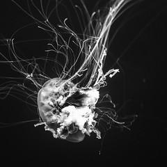 Man O' War No. 2 (Mabry Campbell) Tags: galveston moodygardensaquariium texas usa animal aquarium blackandwhite image jellyfish ocean photo photograph squarecrop water f35 mabrycampbell july 2017 july152017 20170715campbellh6a5676 100mm ¹⁄₁₀₀sec 2500 ef100mmf28lmacroisusm