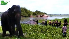 Elephant given a chance to live again. Greatest elephant rescue mission ever (THE WILD ELEPHANT) Tags: huge elephant rescue video youtube quite baby funny kids videos the wild wildlife news tv