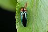Endelus sp. (NakaRB) Tags: malaysia borneo sarawak bakonationalpark 2017 insecta coleoptera buprestidae endelus