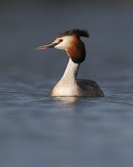 Great Crested Grebe, Lough Neagh (allengillespie.photo) Tags: grebes greatcrestedgrebe loughneagh oxfordisland