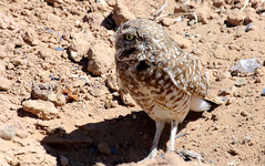 Burrowing Owl (Athene cunicularia); Los Lunas, NM [Lou Feltz] (deserttoad) Tags: nature newmexico bird wildbird raptor owl owlet desert behavior migration