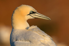 Northern gannet - Basstölpel (rengawfalo) Tags: morusbassanus northerngannet basstölpel bird tölpel vogel birder birding natur nature wildlife animal portrait outdoor