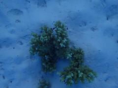 20171221--PC211091.jpg (r.mcminds) Tags: pocillopora tara taraindonesiapalau metazoan cnidaria tarahelenreef pocilloporadamicornis hexacorallian x dascyllus photobyryanmcminds scleractinian robust anthozoan 3rdsnorkel animal cnidarian hardcoral pocilloporidae stonycoral hatohobei palau pw