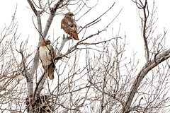 Pair of Hawks (NaturalLight) Tags: redtail redtailedhawk hawk pair cottonwood tree chisholmcreekpark wichita kansas