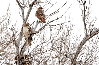 Pair of Hawks