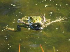 It takes two to tango (Mattijsje) Tags: frogs frog sex seks kikker kikkers water sloot ditch groene groen sexinthewater voortplanting voortplanten multiplying vermenigvuldigen porno wet nat