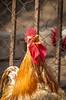 IMG_0094.jpg (StefanosT) Tags: greece canon6d chicken cockerel bird