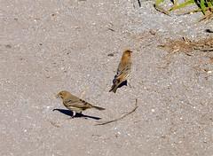 Little Birds (hecticskeptic) Tags: carpinteria california seals pelicans rinconbeach bluff birds markamorgan