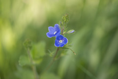 singing the blues (Emma Varley) Tags: flower wildflower speedwell spring westsussex may blue