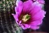 ER 180504 (2) (Paolo Bonassin) Tags: cactus cactaceae echinocereus flowers