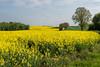 Le colza est fleuri (valfoto91) Tags: champs colza vienne prémilly arbres bois vet jaune