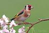 Gold Finch (oddie25) Tags: canon 1dxmkii 600mmf4ii goldfinch finch blossum wildlife wildlifephotography birds birdphotography bird nature naturephotography ianhowells