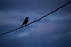 Black bird on a wire at sunset (darletts56) Tags: sky blue cloads wire black bird