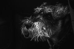 Kosmo After his Walk (lukebray) Tags: schnauzer dog wet monochrome texture smelly focus gritty