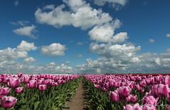 Dutch Tulip fields! (Jambo53 (catching up)) Tags: bloeiendetulpen robertkok netherlands groenehart blooming tulips tulpen flowers bloemen luchten wolken sky clouds spring voorjaar lente tulpenveld tamron2470f28 nikond800