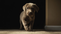 Introducing, Bullet (3rd-Rate Photography) Tags: silverlab labradorretriever puppy silver dog cute adorable portrait canon 50mm 5dmarkiii animal pet jacksonville florida 3rdratephotography earlware 365 petphotography