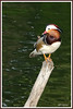 Mandarin perché 180507-01-P (paul.vetter) Tags: oiseau ornithologie ornithology faune animal bird canard palmipède aixmandarin mandarin aixgalericulata mandarinduck patomandarín patomandarim mandarinente
