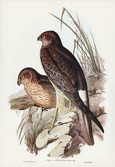 Circus assimilis, Jard&Selb (Allied Harrier) Illustrated by Elizabeth Gould (1804–1841) for John Gould's (1804-1881) Birds of Australia (1972 Edition, 8 volumes). One of the most celebrated publications on Ornithology worldwide, Birds of Australia introdu (Free Public Domain Illustrations by rawpixel) Tags: alliedharrier birdsofaustralia circusassimilis elizabethgould hawk australia birdofprey birds carnivore drawing illustration name predatorybird raptors