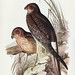 Circus assimilis, Jard&Selb (Allied Harrier) Illustrated by Elizabeth Gould (1804–1841) for John Gould's (1804-1881) Birds of Australia (1972 Edition, 8 volumes). One of the most celebrated publications on Ornithology worldwide, Birds of Australia introdu