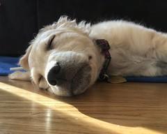 "Ten week old Daisy, Napping. (steveartist) Tags: dog puppy sleepingdog dogs puppies comfortretriever animals mammals animalportraits ""daisy"" iphonese floor dogcollar"