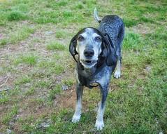 17/52 | gregarious (huckleberryblue) Tags: gracie bluetickcoonhound hound dog coonhound spring 52weeksfordogs week17